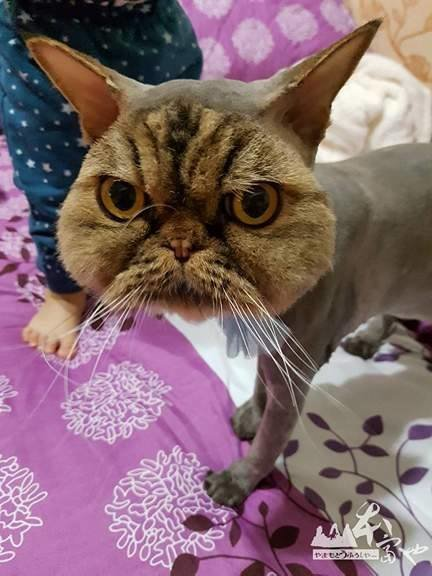 persian cat gets an outrageous haircut