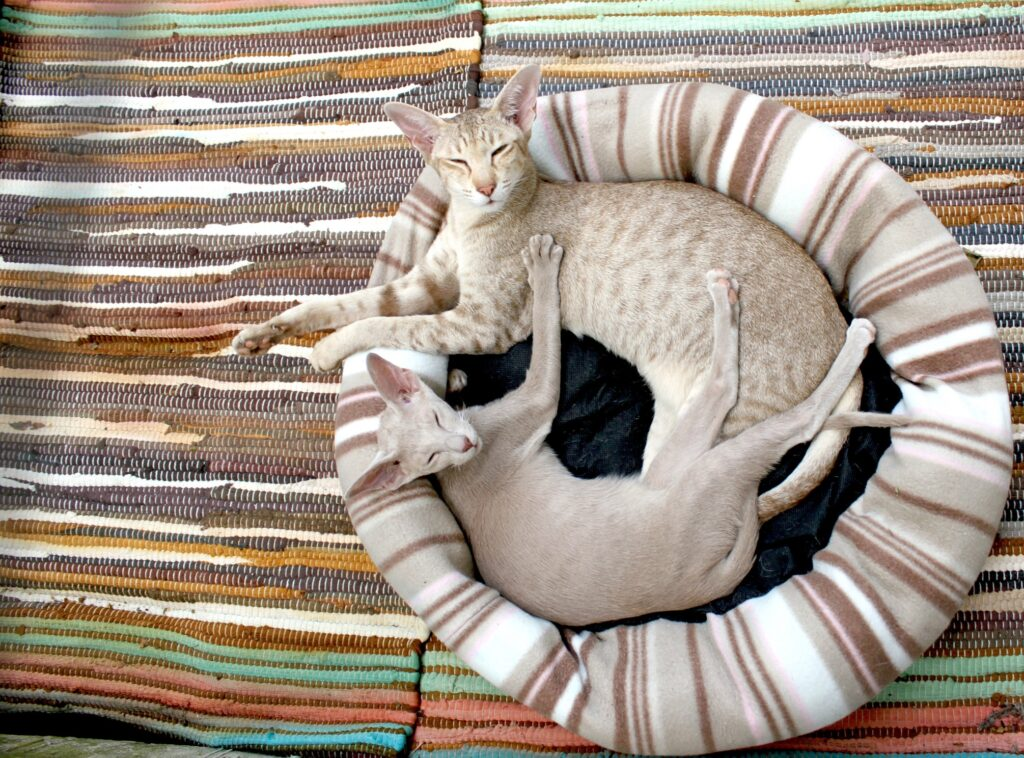 how much do oriental shorthair cats cost