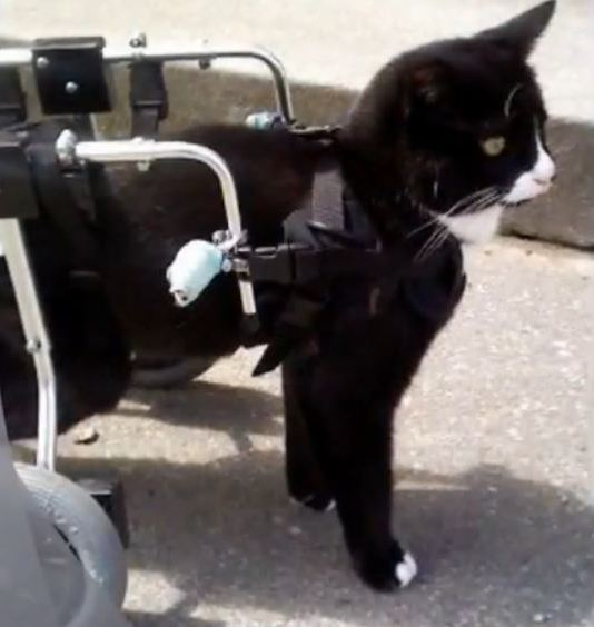 wheelchair for cats lcw chair charles ray eames blackie the cat and his new quest life with on