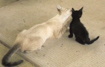 Bagheera the Diabetic Cat is Glad these Two Are Home