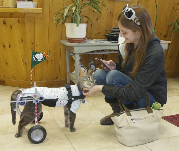 wheelchair for cats reclining patio chairs emerson s story abused special needs cat gets and new caroline rossignol spends a few moments getting to know at the houlton humane society