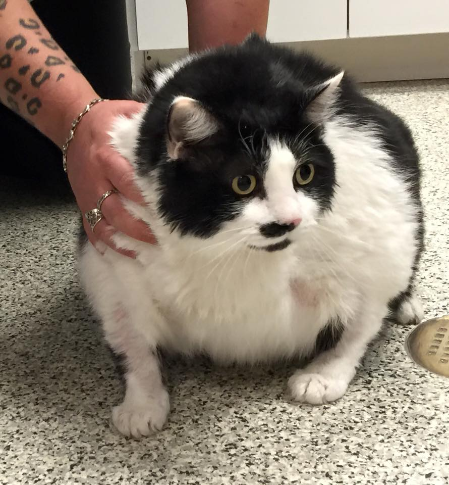 33 pound fat cat Sprinkles gets help  Life With Cats