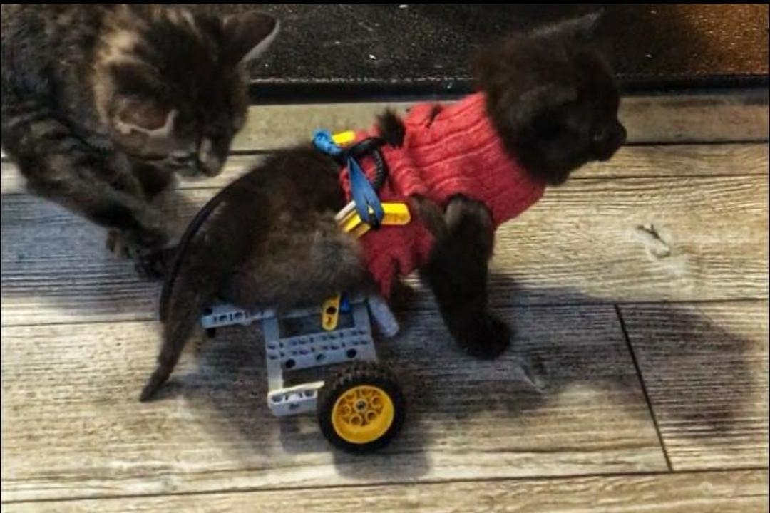 wheelchair for cats office chair wheels laminate floors kitten found with two bad legs gets lift from lego life champ was in a farmer s barn and rescued by cat rescue maritimes carma new brunswick canada but had no use of his back