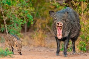 Image result for javelina attack