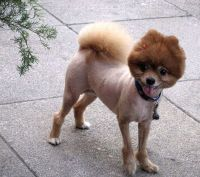 Photos: Ten Dogs with Bad Haircuts