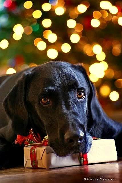 Cute Labrador Puppies Wallpaper Beautiful Photos Of Dogs At Christmastime Life With Dogs