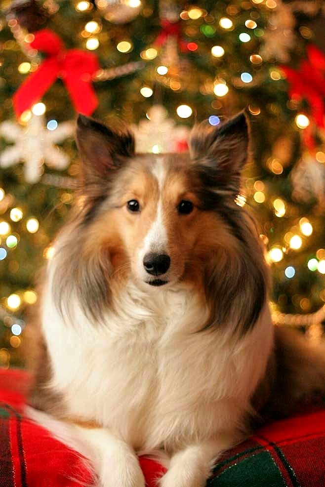 Beautiful Photos Of Dogs At Christmastime Life With Dogs