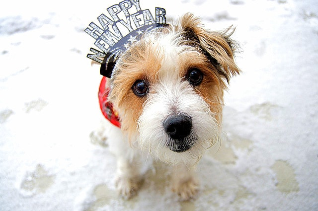Cute Jack Russell Wallpaper Pups Celebrating The New Year Life With Dogs