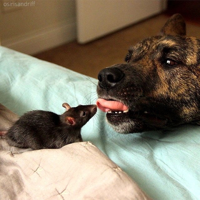 this dog and rat