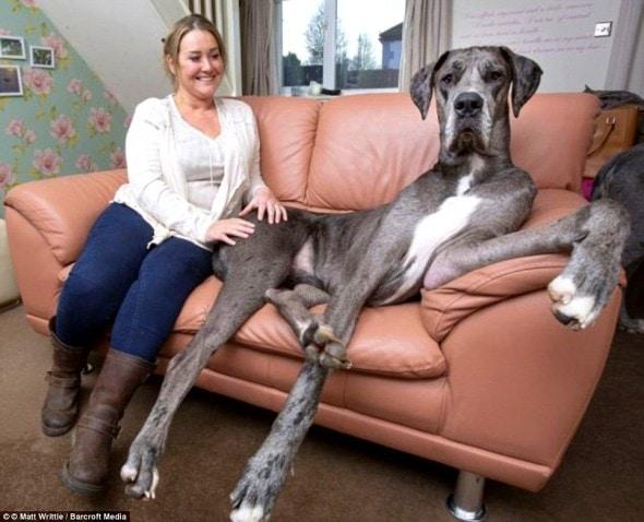 12-20-16-worlds-biggest-dog-freddy1