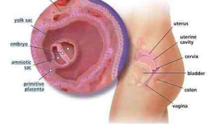 3 Weeks Pregnant: Ovulation and Fertilization