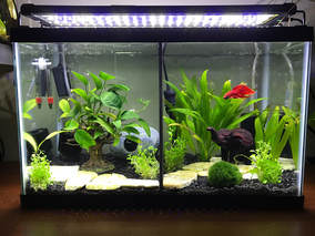 How To Set Up A Divided Betta Fish Tank