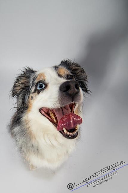 T17L0106 9 - Hundeporträts - mehr als langweilige Fotos - tierportraets, portraets, allgemein - Tierporträts, Porträts, Hunde, Haustiere, Geschenke