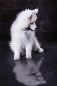 Hundeporträt - Fila-10