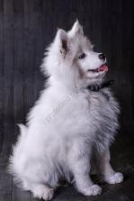 Hundeporträt - Fila-13