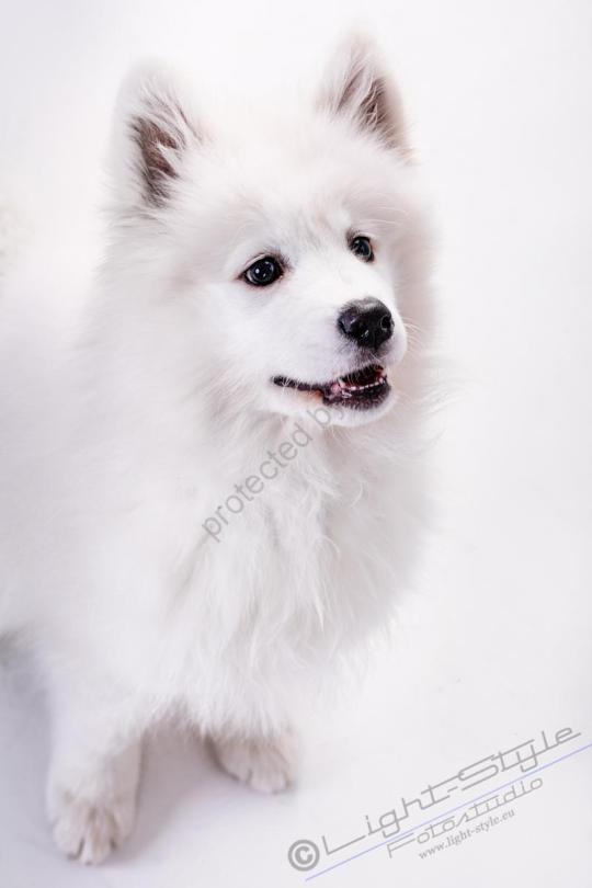 Hundeporträt Fila 21 - Hundeporträt - Fila-21 - tierportraets, allgemein -