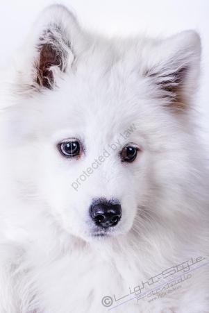 Hundeporträt - Fila-23