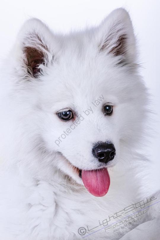 Hundeporträt Fila 3 - Hundeporträt - Fila-3 - tierportraets, allgemein -