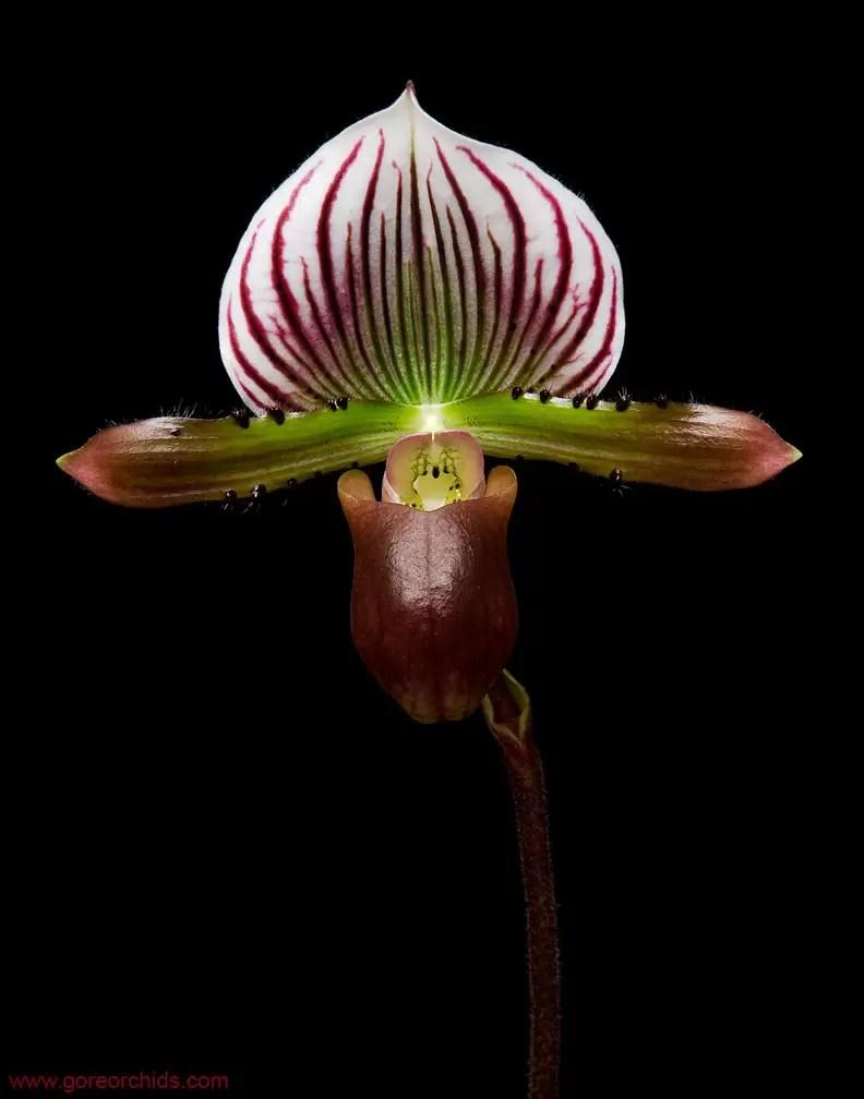 Orchid Photography: Paphiopedilum lawrenceanum