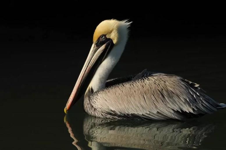 Brown Pelican, by Michael Skelton