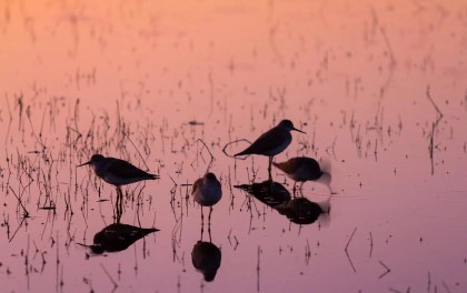 I liked these birds and their reflections in the pink light of sunset, but in the dark light, I could only get 1/10th sec. shutter speed, so when the bird on the right moved, it was very blurry.