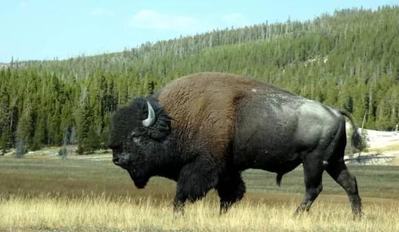 bison-1358326
