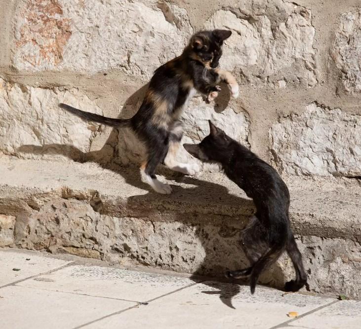 dubrovnik kittens playing