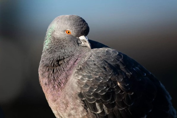 Just a pigeon. Sigma 150-600mm at 600mm