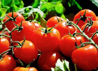 Cultivation Of Hybrid Tomatoes Hybrid Light Solution
