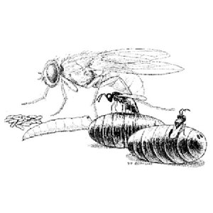 Fly Parasites and predators