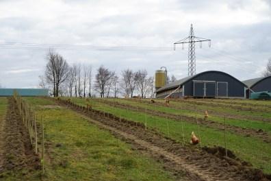 Papperuten nach Pflanzung im Hühnerauslauf