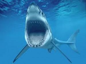 Surfista respinge attacco di squalo con un pugno
