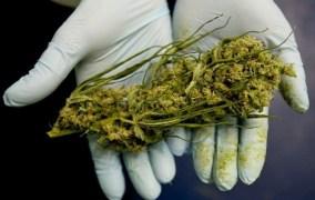 Cannabis più potente, in aumento i rischi per i consumatori