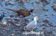 Molassana - Fagiani nel torrente Bisagno
