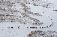 Lupi che camminano al ritmo del più debole e malato - E' una Bufala