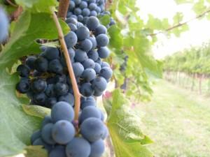 L'uva fa bene alla vista