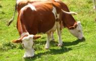 Genova, il 30% della produzione di latte regionale viene dal Capoluogo