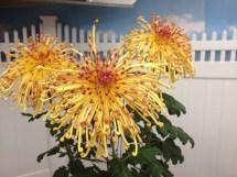 Long Island Chrysanthemum Show Open Weekend Herald