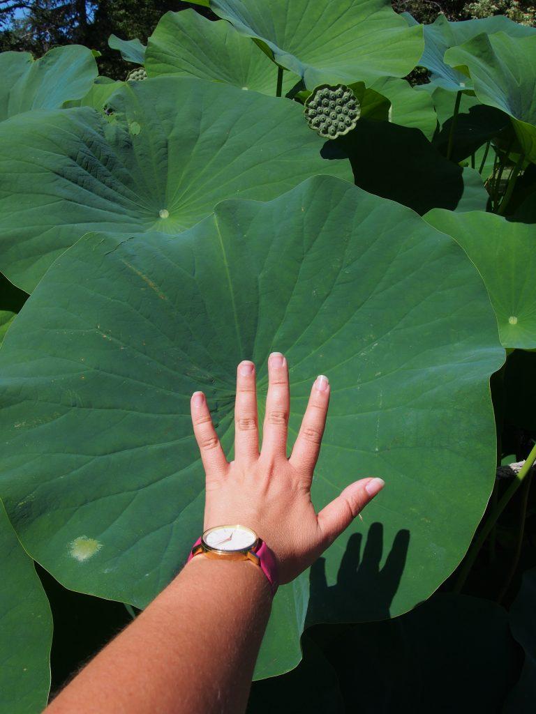 Taille des feuilles de lotus