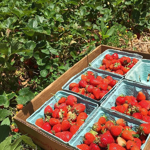 Maine Strawberries: A Taste of the Earth and Sunshine