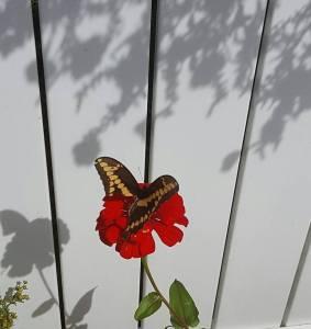 broken-winged-butterfly