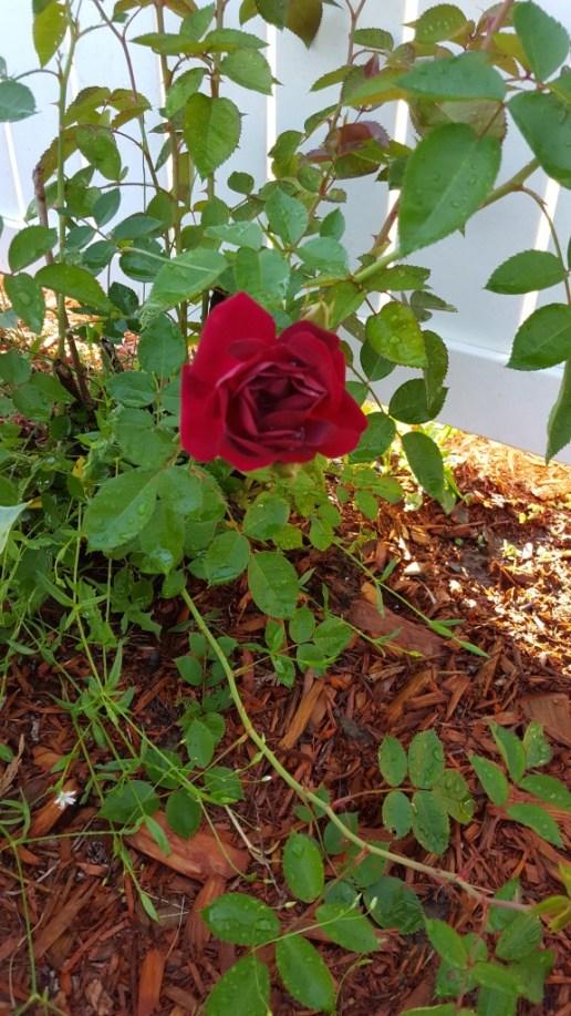 rose-blooming