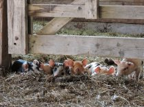 LILLOOET GROWN piglets