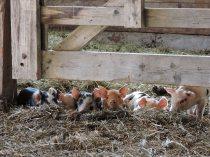 LILLOOET GROWN piglets