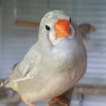 A juvenile female zebra finch