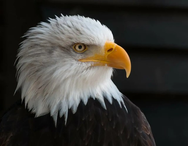 US National Debt, Bald Eagle