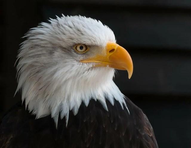 US National Debt, Bald Eagle