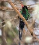 Birding in Jamaica