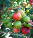 Blue Mountain Coffee Berries