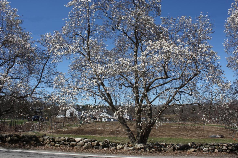 codman farm Lincoln MA flowering trees